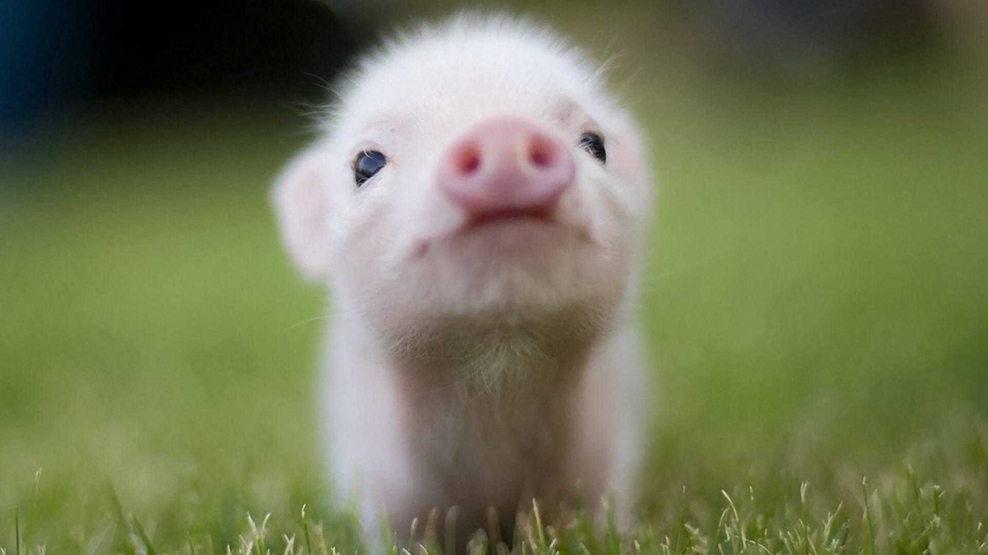 48058-animal-lovers-cute-pig